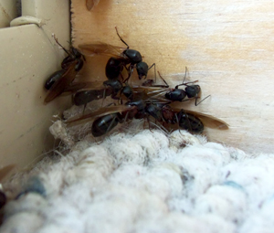 how to find carpenter ants in your home